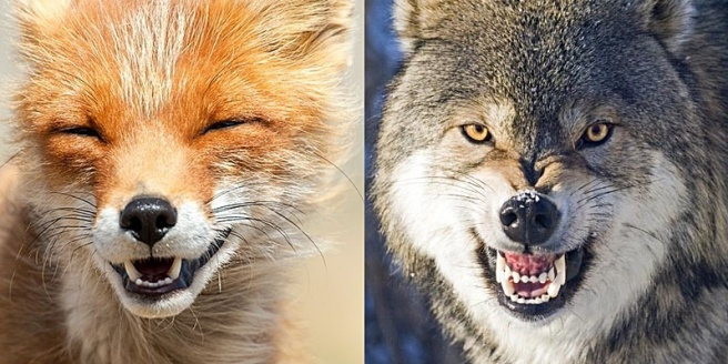 WITHERING-wolf-bearing-teeth